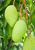 Mango tree 