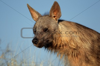 Brown hyena portrait