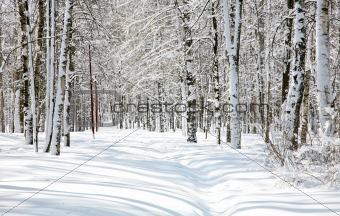 Beautiful Birch Grove in April snow