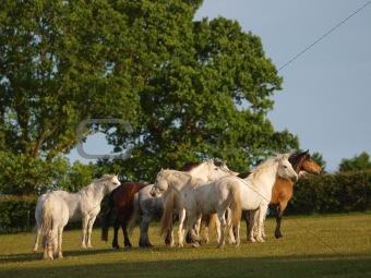 Connemara Herd