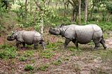 Wild Rhinoceros in Chitwan, Nepal