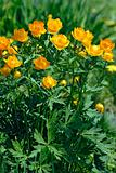 Orange flowers Trollius Asiaticus