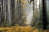 The sun's rays in a misty spruce forest