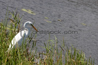 An egret by the water