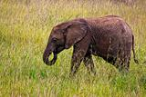 Small Elephant in Kenya