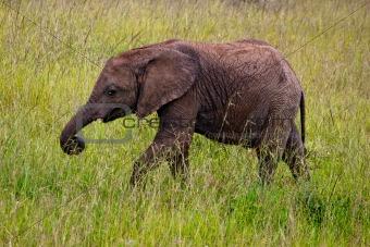 Small Elephant in Kenya