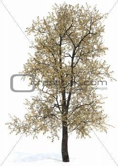 Oak tree - Quercus borealis (Rubra)