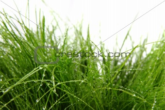 green grass with drops of water