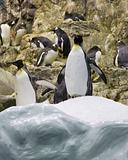 arctic penguin