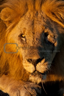 Portrait of an old male lion in the Madikwe Game Reserve, South Africa