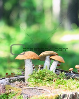 Orange Cap Boletus mushrooms (Leccinum aurantiacum)