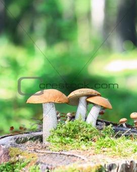 Orange Cap Boletus mushrooms (Leccinum aurantiacum)
