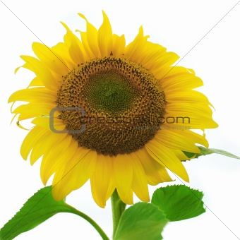 A ripe sunflower isolated on white background