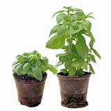 basil in pots isolated