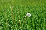 white dandelion on a green meadow