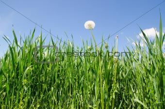 old dandelion in green grass