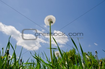 old dandelion in green grass