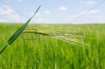 green wheat in field