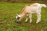 Goatling on the pasture