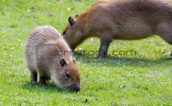 Capybara grazing on fresh green grass