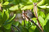 Female Lesser Antillean Bullfinch perched on a branch.