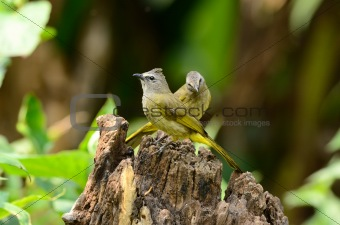 flavescent bulbul (Pycnonotus flavescens)