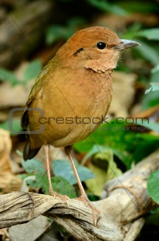 male rusty-naped pitta