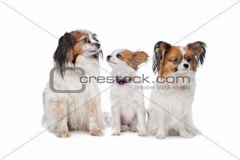 three Papillon dogs