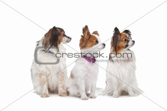 three Papillon dogs