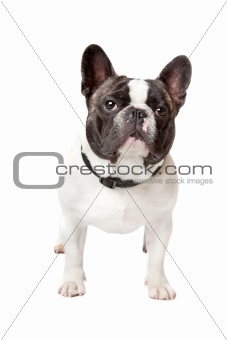 Cute French Bulldog