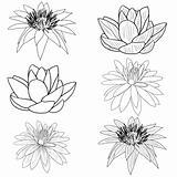 Oriental lotus - a flower