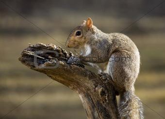 Suicide squirrel