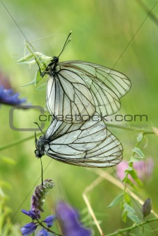 A mating pair of black-veined white butterflies (Aporia crataegi
