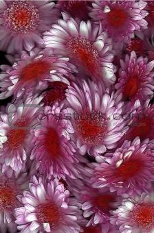 Chrysanthemum Swirl