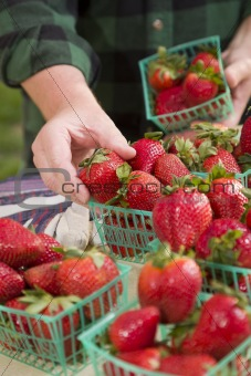 Farmer Gathering Fresh Red Strawberries in Baskets.