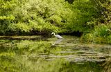 heron fishing in pond