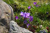 Lilac crocuses in rock garden.