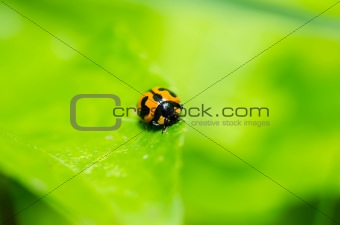 ladybug macro in green nature