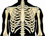 Human skeleton. Chest