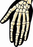 Human skeleton. Hand