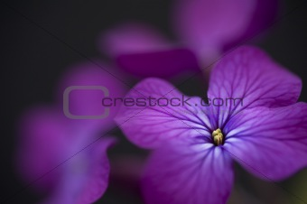 Beautiful low key dramatic image of Honesty flower on black back
