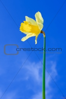 Narcissus yellow flower