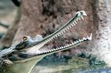 Indian gharial