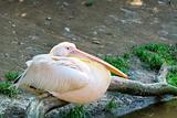 pelican (Pelicanus onocrotalus) posing in camera