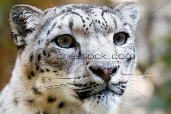 Close up Portrait of Snow Leopard Irbis