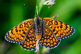 Butterfly melitaea didyma