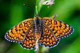 Butterfly melitaea didyma