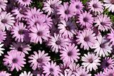 light purple garden chrysanthemums