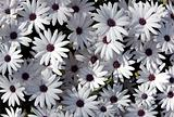 white garden chrysanthemums