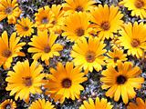 bright yellow garden chrysanthemums